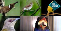 Download Koleksi Suara Burung Master Lengkap Gratis