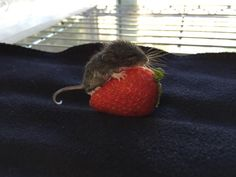 Baby deer mouse rescued by a wildlife center in CA. How cute!!!!