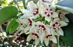HOYA CALYCINA, one of the strongest fragrances in Hoyas
