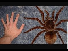 The goliath tarantula is the largest spider in the world. It preys on baby birds rats and insects. Large Spiders, Spiders And Snakes, Scary Spiders, Scary Bugs, Tiny Spiders, Reptiles, Huntsman Spider, Scary Animals, Giant Animals