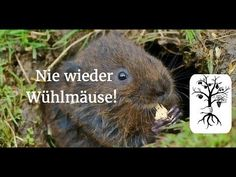 vole control in lawns lakewood oh pests garden pests sticky mouse traps mouse traps. Black Bedroom Furniture Sets. Home Design Ideas