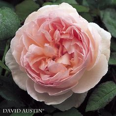 cosa c'è di più bello delle rose inglesi?