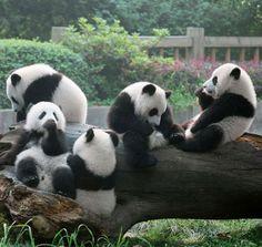 """© Zhou Mengqi Tratto dal libro """"Panda"""" di Zhou Mengqi. Orme Editori #fotografia #cina #animali #panda"""