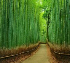 Kyoto, Japan. Bamboo Wonderland!