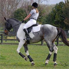 Blue Roan Paint Horse........beautifulll!!!