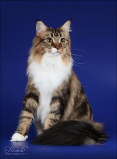 Beautiful Maine Coon Cat just like my babies! http://www.mainecoonguide.com/male-vs-female-maine-coons/
