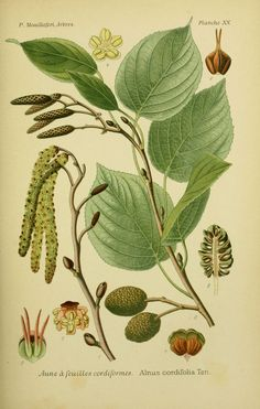 img / trees shrubs drawings / designs alder trees and shrubs 0081 has feuillles hickory - alnus cordifolia.jpg