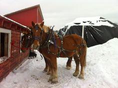 Draft horses at Essex Farm, Feb. 2015 (Credit: Kristin Kimball)