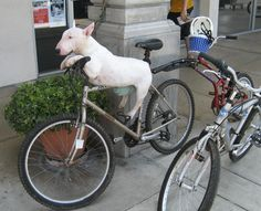 dogs and bikes - Google Search