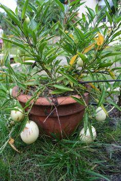 Solanum muricatum, melon poire: mémo carre potager