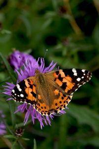 Distelvlinder  De verse vlinders zijn felgekleurd, en omdat de rupsen prima te eten hebben gehad zijn ze ook groot (foto: Kars Veling)