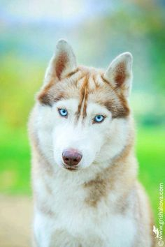 Fair brown husky with blue eyes