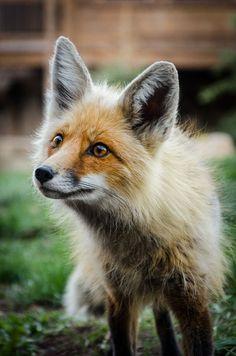 fox   Tumblr