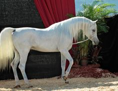 The Arabian Horse - Drinkers of the Wind : Photo