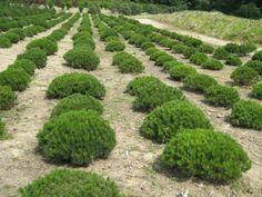 Pinus mugo pumilio | Föhre (langsamwachsend)