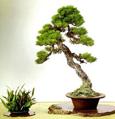 Pine Bonsai, Indoor Bonsai Tree, Bonsai Trees, Bonsai Garden, Renaissance Art, Ikebana, Herbs, Landscape, Nature