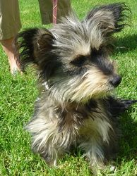 Candy is an adoptable Yorkshire Terrier Yorkie Dog in Los Angeles, CA. 1 to 2 years old, Gray, Tan and White, Yorkie/Maltese mix. Candy is a sweet treat who for sure will be a heart breaker with her g...