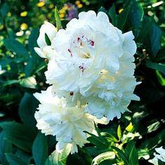 Las peonías son unas flores excepcionales cuyo cultivo tiene una gran tradición. No es que sean especialmente difíciles de cultivar pero hay que darles lo que necesitan, sólo así podrás conseguir u…
