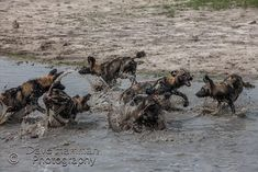 Summer is a fantastic time of the year to be at Chitabe Lediba - the diversity of habitat ensures great photographic opportunities all year round African Wild Dog, Okavango Delta, Wild Dogs, Diversity, Habitats, Wilderness, Safari, Wildlife, Camping
