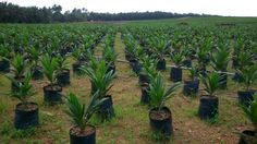 Red Palm Oil Tree Plantation is one of the most useful plantation in the world. Nothing in palm tree that . Palm Oil, The Locals, Investing, The Unit, Hospitals, Plants, Link, Planters, Plant