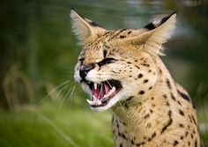 """The serval (Leptailurus serval) known in Afrikaans as Tierboskat, """"tiger-forest-cat"""", is a medium-sized African wild cat. While this serval looks threatening or -ed, seems they make for interesting pets."""