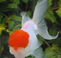 Pearlscale I Love Goldfish Pinterest Goldfish Koi And Fish