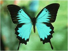 Papilionidae Butterfly from New Guinea