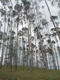 Eucalyptus in Arbegona, Sidama region, Ethiopia