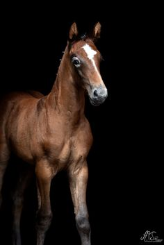 Fohlenhengst Vidalgo Horses, Animals, Beautiful, Black, Baby Horses, Animales, Animaux, Black People, Animal