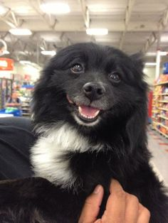 Please contact Darlene (disdar1@aol.com) for more information about this pet.oreo was abandon by his owner, they had lost their home so oreo lost her family.  I intercepted the dog before it acutually went into the shelter.  He is a sweet dog that...