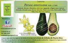 Redescubre el Aguacate con... la Guía de Árboles de Puerto Rico www.verdenativopr.com