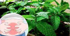 A hortelã é uma das plantas mais utilizadas em todo o mundo.Ela é um bom digestivo e combate gases do estômago e intestino.Além disso, elimina parasitas (especialmente ameba e giárdia) e é uma ótima aliada contra a cólica intestinal.