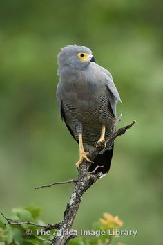Photos and pictures of: African harrier hawk, Polyboroides typus, Kruger National Park, South Africa - The Africa Image Library Birds Of Prey, Raptors, Owl Bird, Pet Birds, Love Birds, Beautiful Birds, South African Birds, Hawk Photos, Kruger National Park