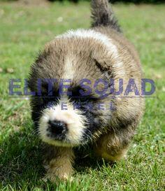 Caucasian Shepherd puppies for SALE- India - ELITE SQUAD KENNEL www.EliteSquadKennel.com #EliteSquadKennel