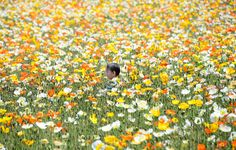 A boy runs in a field of Iceland poppies in full bloom at Showa Memorial Park in Tokyo, Japan on May Photograph by Toru Yamanaka for AFP and Getty. Photos Du, Cool Photos, Interesting Photos, Fotojournalismus, Fan Ho, Icelandic Poppies, Lost In Life, Fill The Frame, Cider House