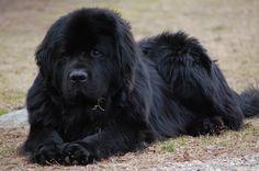 8_Newfoundland-Dog.jpg (3008×2000)