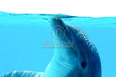 For stock photo buyers: Royalty Free stock photo: Ocean Life - Dolphin playing in the blue water. Copyright:Corina Daniela ObertasSize:4272x2848 / 10.0MB