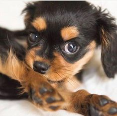 Cavalier King Charles Spaniel – Graceful and Affectionate Cavalier King Spaniel, Spaniel Dog, King Charles Spaniel, Cavalier King Charles, Spaniels, Spaniel Breeds, Dog Breeds, Dog Competitions, Puppy Mix