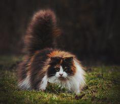 Mille, the Norwegian Forest Cat | Jane Bjerkli