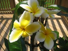 Plumeria...1 of the MOST beautiful flowers on earth! I can still smell it after our trip to Hawaii...it's like perfume!