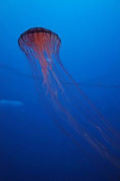 クラゲ (The jellyfish)