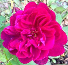 Английская роза в саду 🌹