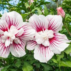 Buy tree hollyhock Hibiscus syriacus Starburst Chiffon (PBR) (Chiffon Series) - A fabulous display from mid-to late summer.: 3 litre pot: Delivery by Crocus Beautiful Flowers, Flowering Trees, Hibiscus Tree, Flowers, Hibiscus Plant, Hibiscus Rosa Sinensis, Rare Flowers, Hibiscus Flowers, Hibiscus