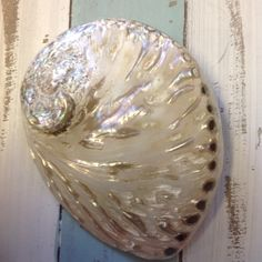 South African Polished Abalone Shell