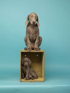 My favourite dog © William Wegman August 2011 issue - William Wegman by Lorna Gentry Cute Puppies, Dogs And Puppies, Weimaraner Puppies, Baby Animals, Cute Animals, William Wegman, Mundo Animal, Dog Crate, Mans Best Friend