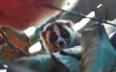 Rayu the slow loris' life was saved by a resident of Sukabumi city in Java and by the prompt action of our veterinary team.