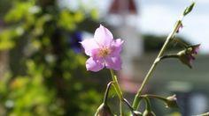 Beautiful flower on Saba, Dutch Caribbean. courtesy of Restaurant Eden in Windwardside www.edensaba.com
