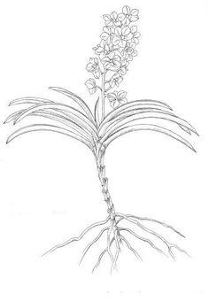 orquidea-monopodial