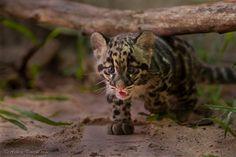 Ashley Vincent – Nature Impressions » Clouded Leopards
