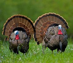Ready for a turkey road trip? Here's a look at the 12 best turkey hunting states in the country. Quail Hunting, Deer Hunting Tips, Waterfowl Hunting, Hunting Crafts, Hunting Stuff, Best Turkey, Wild Turkey, Turkey Fan, Turkey Hunting Season